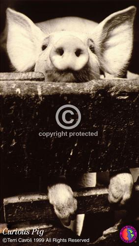 1.-Curious-Pig2.jpg