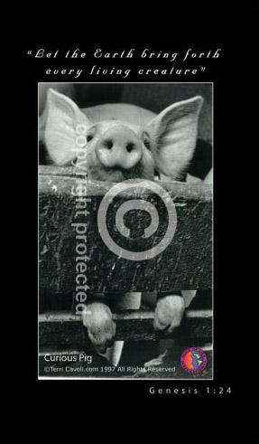 1.5-Curious-Pig2-.jpg