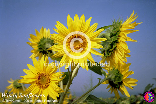 100-Windy-Sunflowers_
