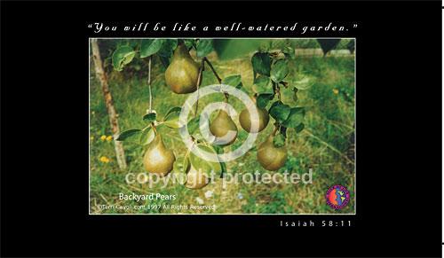 Backyard-Pears-