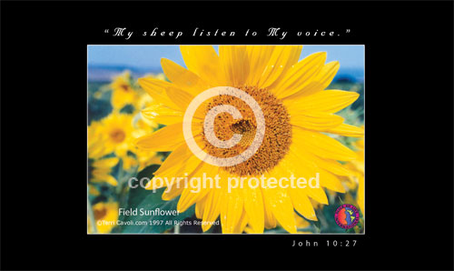 Field-Sunflower-