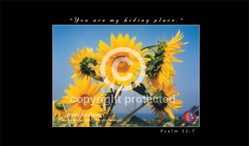 Windy-Sunflowers-